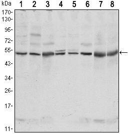 CSK Antibody (MA5-15707) in Western Blot