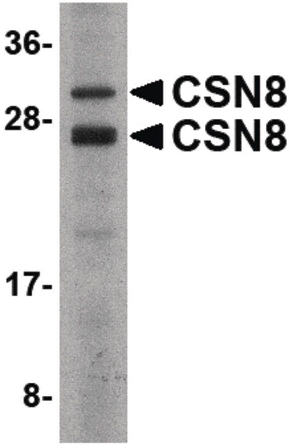 COPS8 Antibody (PA5-20539) in Western Blot