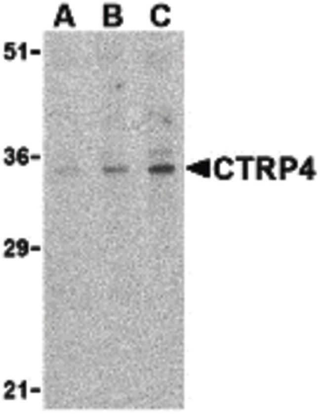CTRP4 Antibody (PA5-20150) in Western Blot