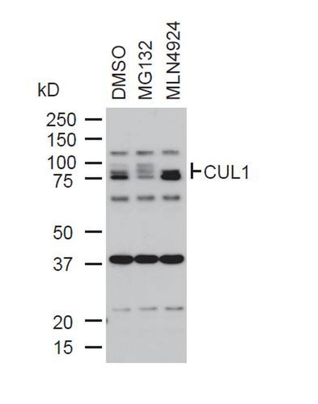 Cullin 1 Antibody (71-8700) in Western Blot