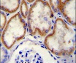CUX1 Antibody (PA5-25788) in Immunohistochemistry