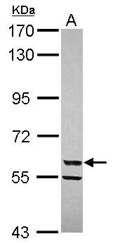 CYP3A4 Antibody (PA5-28323)