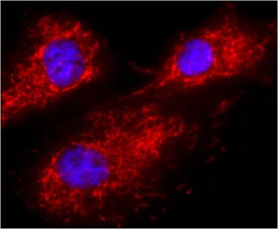 Calnexin Antibody (MA3-027)