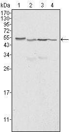 Calreticulin Antibody (MA5-15382) in Western Blot