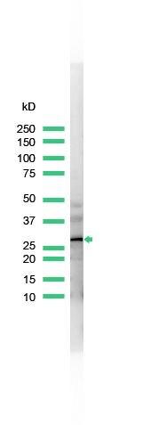 Calretinin Antibody (PA5-32287) in Western Blot