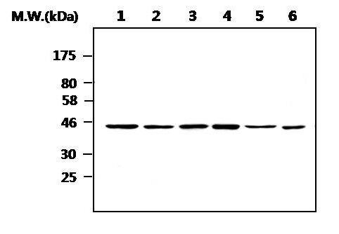 CK1 epsilon Antibody (MA5-17231) in Western Blot