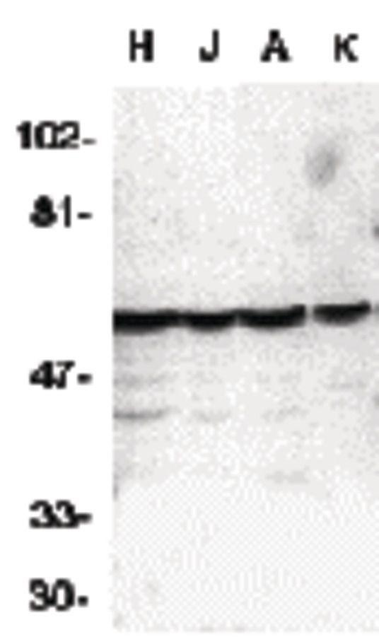 Caspase 10 Antibody (PA5-19870)