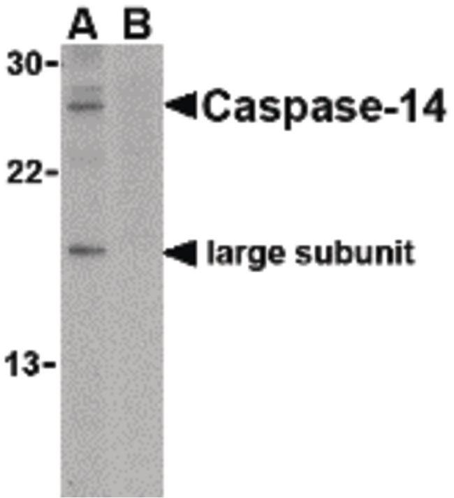 Caspase 14 Antibody (PA5-20297) in Western Blot