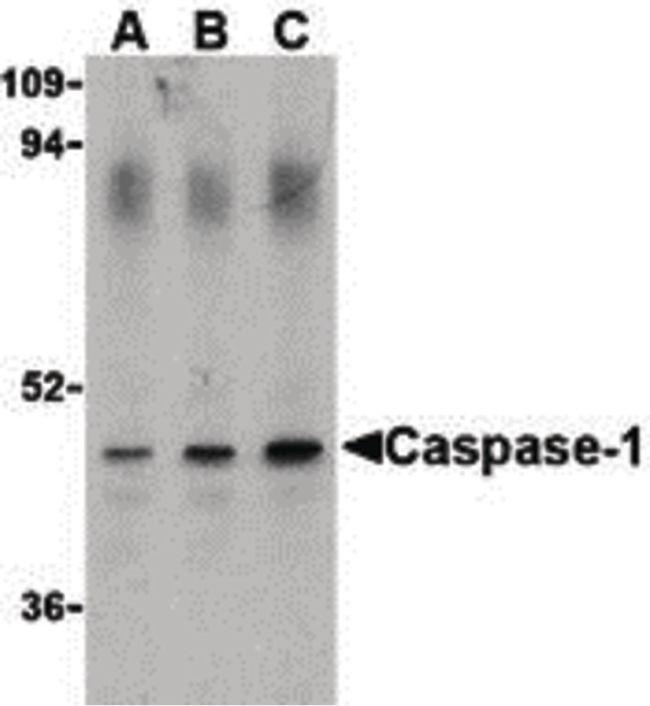 Caspase 1 Antibody (PA5-20113) in Western Blot