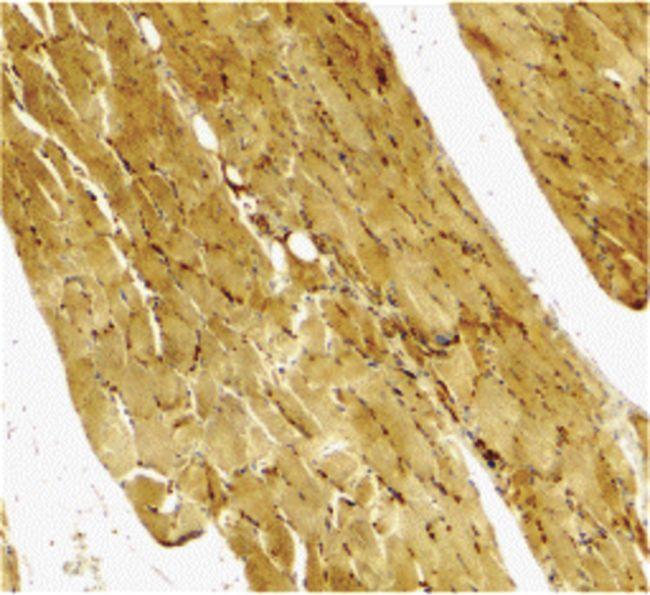 Caspase 7 Antibody (PA5-20114) in Immunohistochemistry