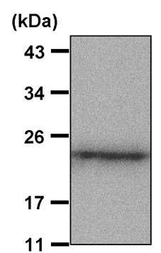 Caveolin 1 Antibody (PA5-17447) in Western Blot