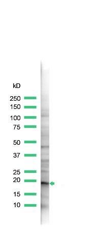 Claudin 1 Antibody (PA5-32350) in Western Blot