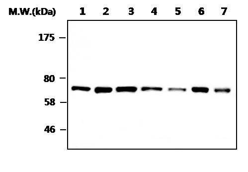 Coilin Antibody (MA5-17260) in Western Blot