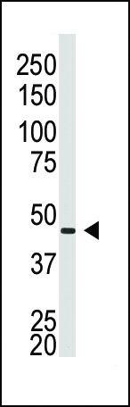 Connexin 40 Antibody (PA5-11638) in Western Blot