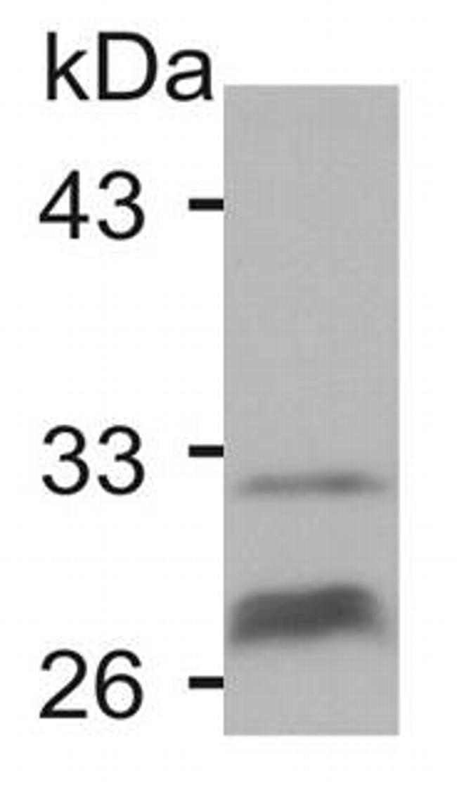 Connexin 32 Antibody (71-0600) in Western Blot