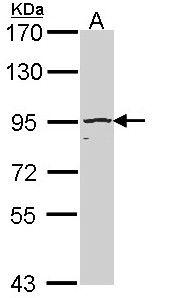 Cullin 4B Antibody (PA5-29856)
