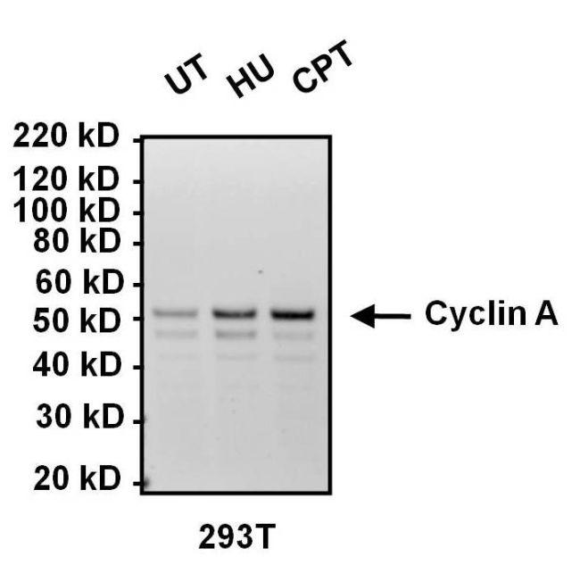 Cyclin A2 Antibody (MA1-154) in Western Blot