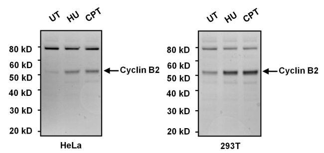 Cyclin B2 Antibody (MA1-156) in Western Blot