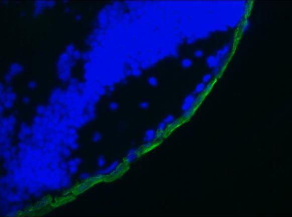 Cytokeratin 19 Antibody (MA1-06329)