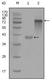 Cytokeratin 19 Antibody (MA5-15463) in Western Blot