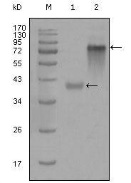 Cytokeratin 19 Antibody (MA5-15477) in Western Blot