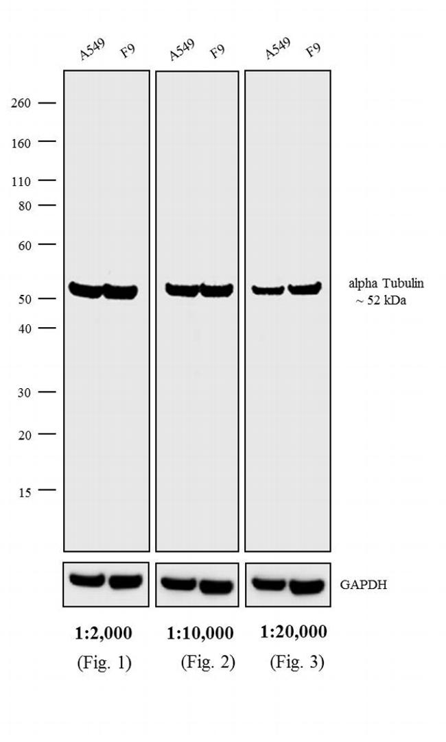 Rat IgG (H+L) Cross-Adsorbed Secondary Antibody (D-20697) in Western Blot