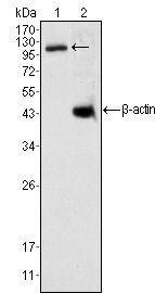 DAXX Antibody (MA5-15552) in Western Blot
