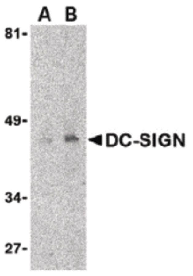 DC-SIGN Antibody (MA5-15746)