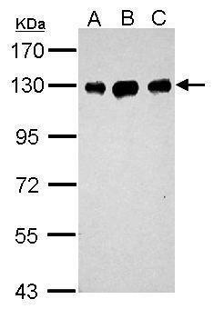 DDB1 Antibody (PA5-34631) in Western Blot