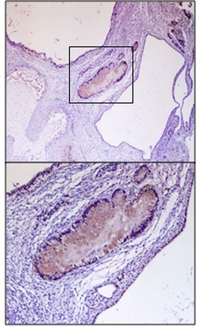 DOPA Decarboxylase Antibody (PA5-25450) in Immunohistochemistry