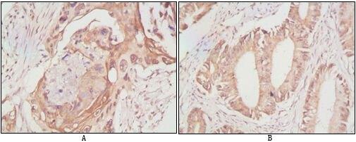 DDX4 Antibody (MA5-15565) in Immunohistochemistry