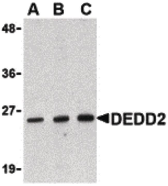 DEDD2 Antibody (PA5-20214)