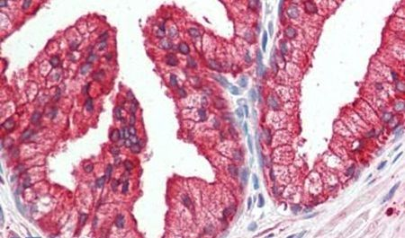 DHRS7 Antibody (PA5-32720)