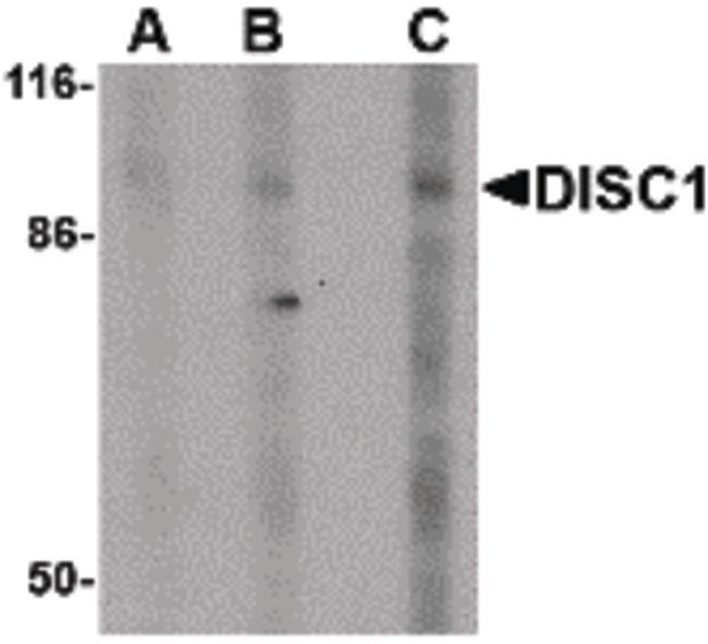 DISC1 Antibody (PA5-20423) in Western Blot