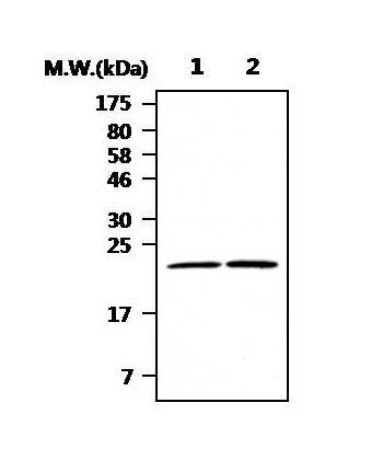 DJ-1 Antibody (PA5-34618)