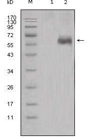 DKK1 Antibody (MA5-15497) in Western Blot
