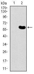 DKK3 Antibody (MA5-17067) in Western Blot