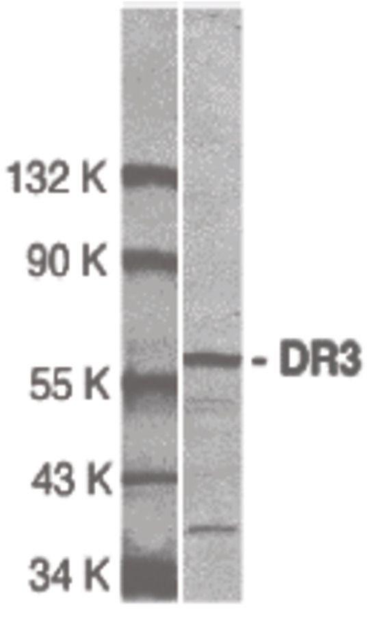 DR3 Antibody (PA5-19866)