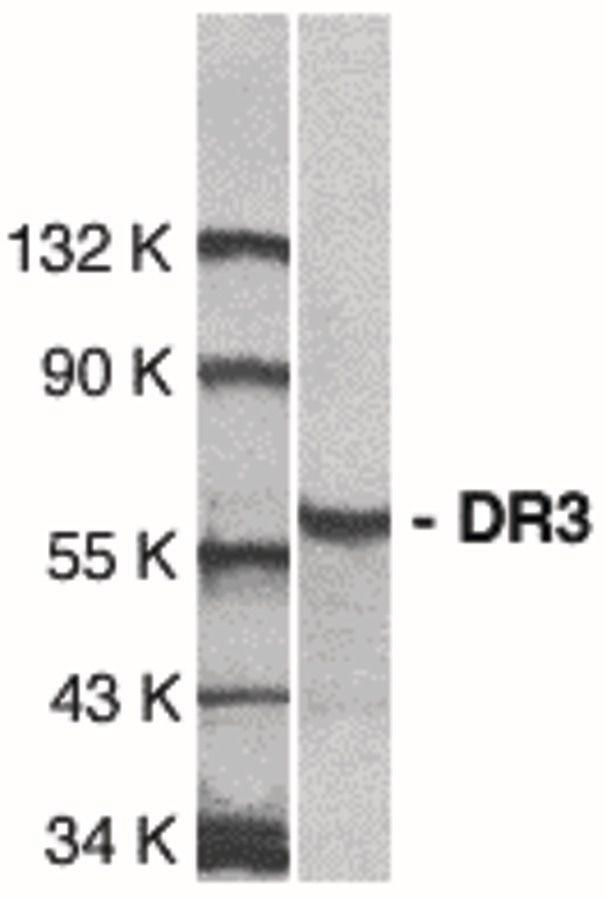 DR3 Antibody (PA5-19886)