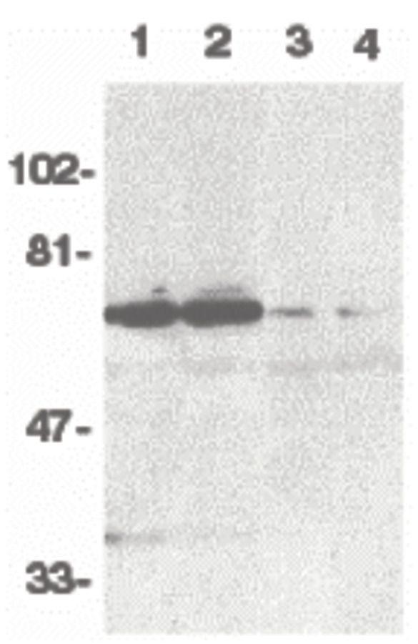 DR6 Antibody (PA5-19930)