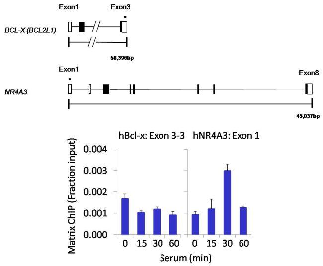 DUSP16 Antibody (PA5-29888) in ChIP assay