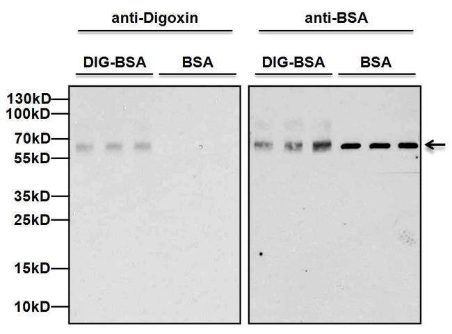 Digoxin Antibody (MID0303)
