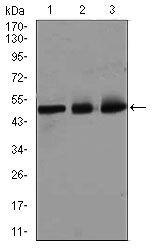 E2F1 Antibody (MA5-17070) in Western Blot