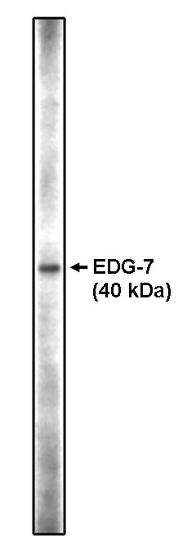 LPAR3 Antibody (PA1-12569) in Western Blot