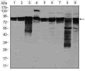eIF4B Antibody (MA5-17071) in Western Blot