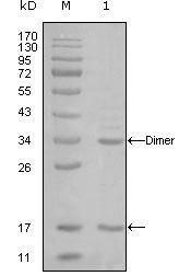 p300 Antibody (MA5-15444)