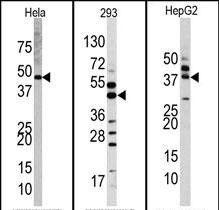 ERK2 Antibody (PA5-14088) in Western Blot