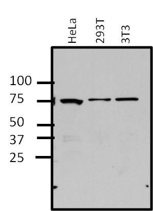 ERK3 Antibody (MA1-101) in Western Blot