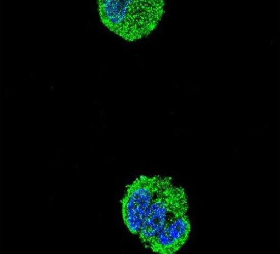 ETS1 Antibody (PA5-24211) in Immunofluorescence