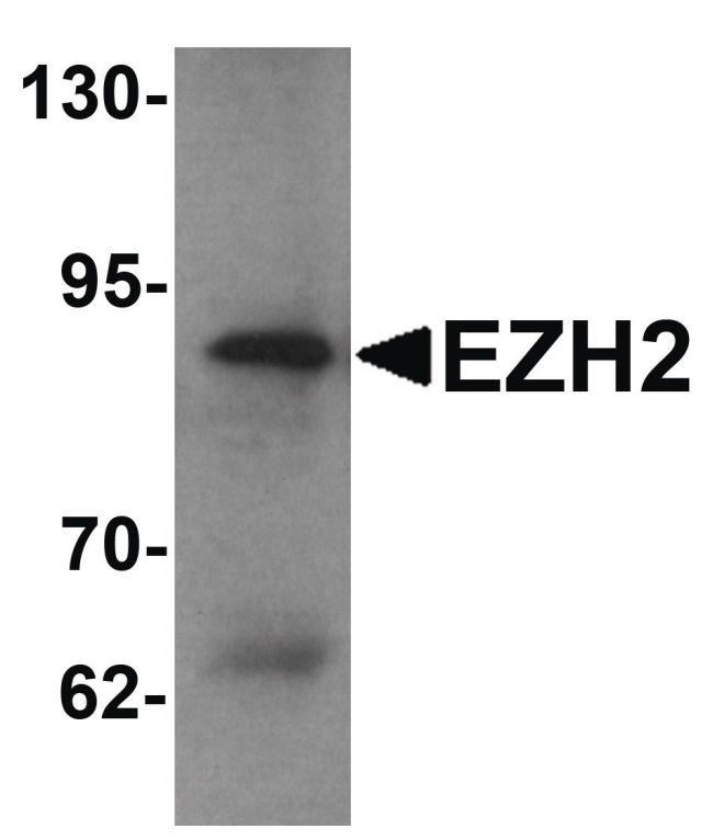 EZH2 Antibody (PA5-21138) in Western Blot